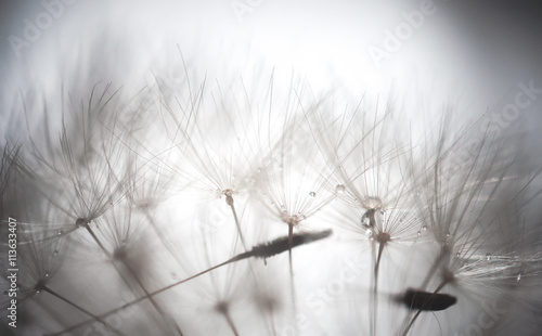 Dandelion abstract background. Shallow depth of field. © MarkoVS87