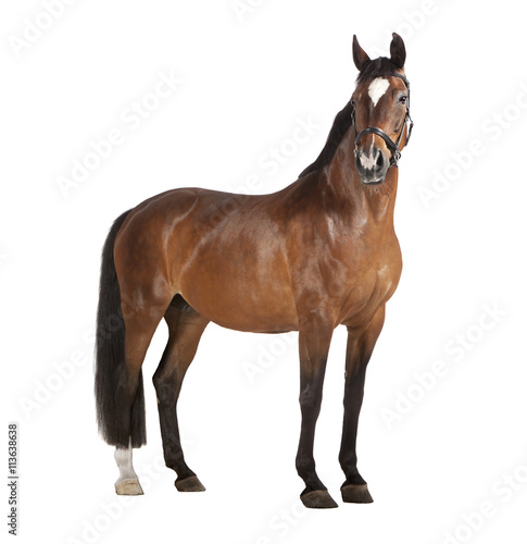 Fototapeta Pferd weißer Hintergrund