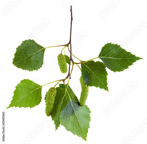 twig of birch tree with green leaves and catkins - 113645863