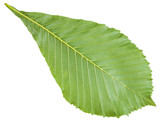 back side of Aesculus (horse chestnut) green leaf