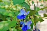 Butterfly shaped blue flowers of Rotheca Myricoides