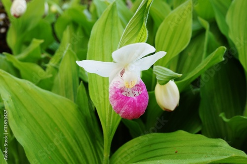Pink and white lady slipper orchid flower cypripedium reginae pink and white lady slipper orchid flower cypripedium reginae mightylinksfo