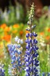 Texas Bluebonnet flower (Lupinus texensis) with colorful background