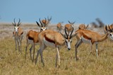 Wildlife  antelopes springboks in African safari.