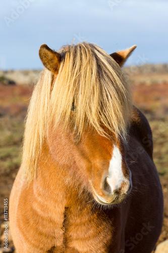 Zdjęcia na płótnie, fototapety, obrazy : Cavalo Islandes