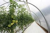 invernadero tomates 1359-f16