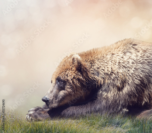 Brown Bear Resting - 113724690