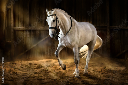 Poster White horse make dressage piaff  in dark manege with dust of sand