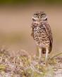 Burrowing owl (Athene cunicularia) in Marco Island, Florida
