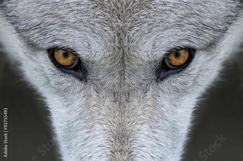 Plakat Wild gray wolf eyes in Wyoming