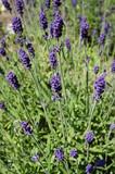Fototapety Fragrant blue stems of Hidcote Blue lavender (lavendula angustifolia)