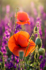 Red poppies in a field of violet flowers at sunset © icephotography