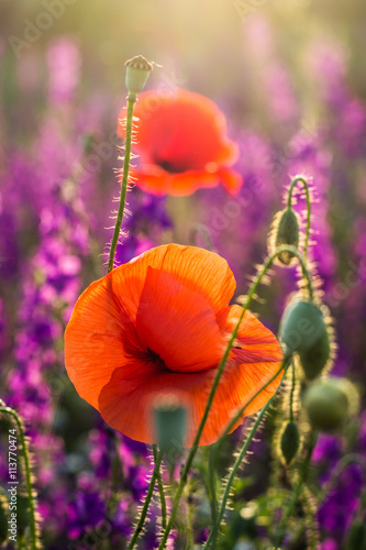 Red poppies in a field of violet flowers at sunset