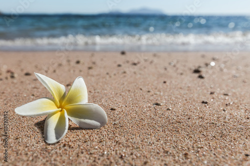 kwiat-plumeria