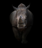 white rhinoceros in dark background