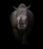 Fototapety white rhinoceros in dark background