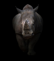 white rhinoceros in dark background © anankkml