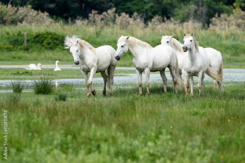 Zdjęcia na płótnie, fototapety, obrazy : cavalli