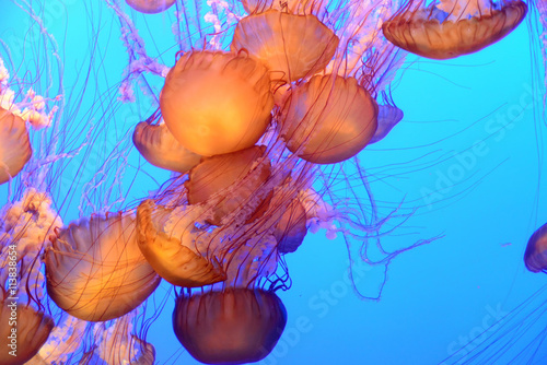 obraz PCV Jellyfish floating and swimming in the blue ocean