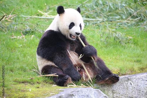 Fototapeta Großer Panda frisst Bambus