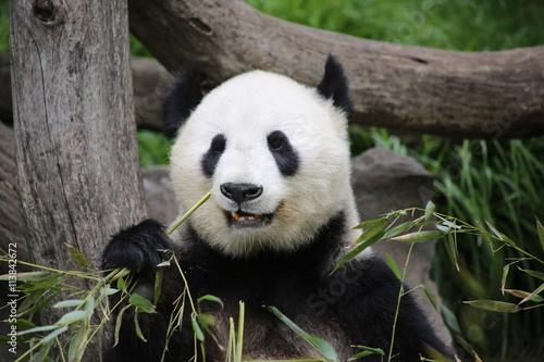 Aluminium Panda Großer Panda frisst Bambus