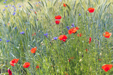 Korn und Mohnblumen im Getreidefeld
