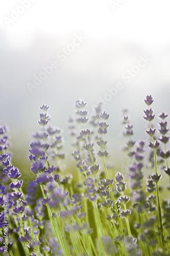 Lavendelblüten - 113898419