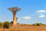 Beautiful Baobab tree in the landscape of Madagascar