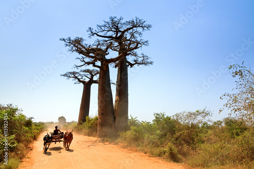 Fotobehang Baobab Very typical image of a Malagasy man with his Zebu car on the road with Baobab trees near Morondava, Madagascar, on September 13, 2013