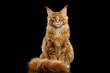 Beautiful Red Maine Coon Cat Sitting with Large Ears and Furry Tail Looking in Camera Isolated on Black Background, Front view