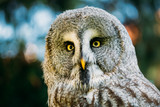 Great Grey Owl Or Great Gray Owl Strix Nebulosa Is Wild Bird