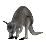 3D Rendering Eastern Grey Kangaroo