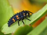 Ladybug larva on green leaf
