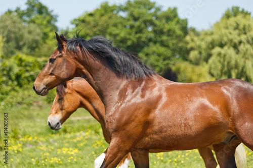 fototapeta na ścianę Pferde laufen auf bunter Wiese