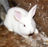 little white rabbit on the farm