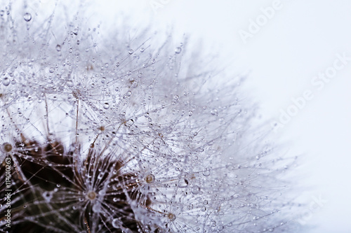 Dandelion on light background, macro - 114010263