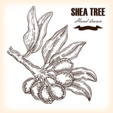 Shea tree. Hand drawn branch in sketch style. Medical plants