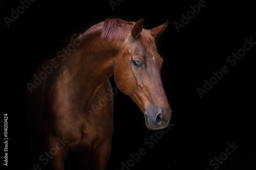 Beautiful red horse portrait on black background Poster