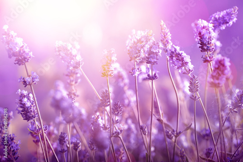 Lavender in sunlight