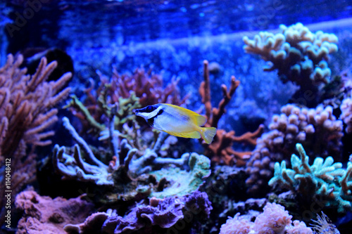 Foxface rabbitfish in Tropical aquarium Poster