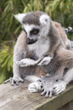 Ring-tailed lemur monkey.