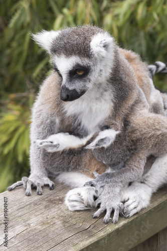 Poster Ring-tailed lemur monkey.