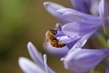 Bee with Purple Agapanthus