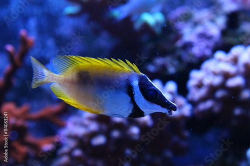 Fox-face rabbit-fish in Tropical aquarium Poster