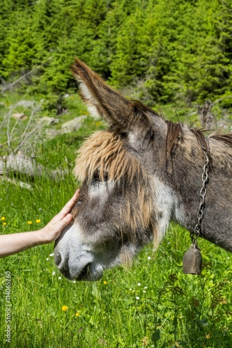 Poster Ezel Boy hand caressing a beautiful donkey