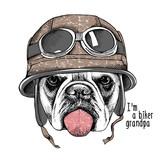 Pies Bulldog w kasku motocyklisty.