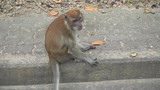 Brown monkey sitting on the pavement. Songkhla, Thailand