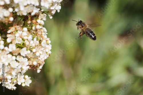 Poster Abeille volant vers une fleur pour butiner