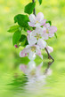 Apple tree flower blossoming at spring time with water reflection, floral natural  background