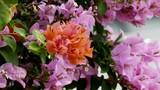 Bougainvillea paper flower